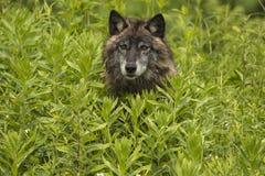 Ritratto del lupo Fotografia Stock