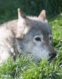 Ritratto del lupo che si trova nell'erba Fotografia Stock Libera da Diritti