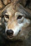 Ritratto del lupo grigio (lupus di canis) Fotografia Stock