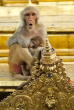 Ritratto del Macaque Fotografia Stock