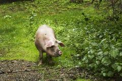 Ritratto del maiale Fotografia Stock