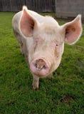 Ritratto del maiale biologico Fotografia Stock Libera da Diritti