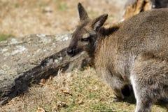 Ritratto del marsupiale australiano del canguro immagini stock libere da diritti