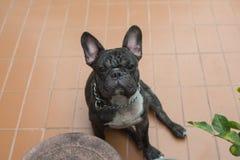 Ritratto del maschio del bulldog francese Immagini Stock Libere da Diritti
