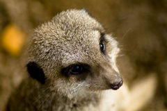 ritratto del meerkat Fotografie Stock