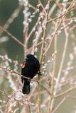 Ritratto del merlo ad ali rosse sul ramoscello Fotografia Stock Libera da Diritti