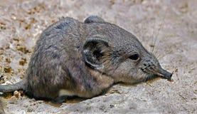Ritratto del mouse a strisce dell'erba Fotografia Stock
