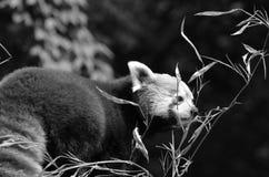 Ritratto del panda rosso Immagine Stock