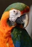 Ritratto del pappagallo Fotografia Stock Libera da Diritti