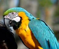 Ritratto del pappagallo dell'ara Fotografia Stock Libera da Diritti