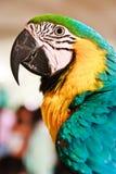 Ritratto del pappagallo dell'ara fotografie stock libere da diritti