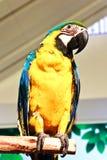 Ritratto del pappagallo dell'ara fotografie stock