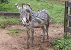 Ritratto del parco della zebra in spagna Fotografia Stock Libera da Diritti