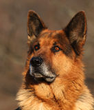 Ritratto del pastore tedesco Fotografia Stock