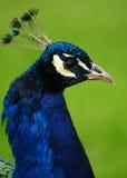Ritratto del pavone Fotografie Stock Libere da Diritti