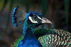 Ritratto del pavone Fotografia Stock Libera da Diritti