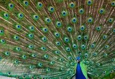 Ritratto del pavone Immagine Stock