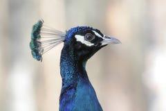 Ritratto del pavone Fotografia Stock
