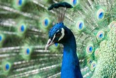 Ritratto del pavone (cristatus del Pavo) Immagini Stock Libere da Diritti