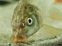 Ritratto del pesce comune della carpa Fotografie Stock Libere da Diritti