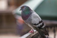 Ritratto del piccione Immagini Stock Libere da Diritti