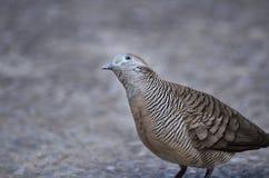 Ritratto del piccione Immagini Stock