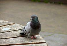 Ritratto del piccione Fotografia Stock Libera da Diritti