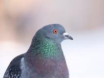 Ritratto del piccione fotografia stock