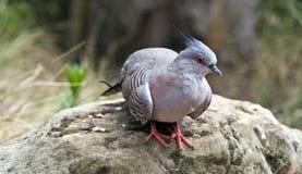 Ritratto del piccione crestato Fotografia Stock