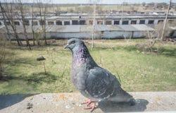 Ritratto del piccione, fine su Immagini Stock