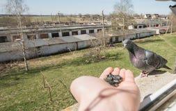Ritratto del piccione, fine su Fotografia Stock Libera da Diritti