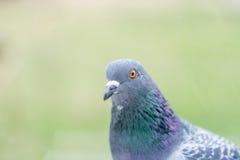 Ritratto del piccione, fine su Fotografia Stock