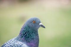 Ritratto del piccione, fine su Fotografie Stock Libere da Diritti