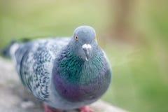 Ritratto del piccione, fine su Immagine Stock