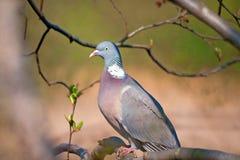 Ritratto del piccione selvatico Fotografie Stock