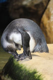 Ritratto del pinguino a Cape Town Immagine Stock
