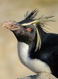 Ritratto del pinguino di Rockhopper Fotografie Stock