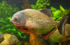 Ritratto del Piranha Immagine Stock
