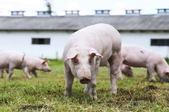 Ritratto del porcellino sulla scena rurale dell'azienda agricola di allevamento del maiale Fotografie Stock Libere da Diritti