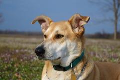 Ritratto del prato del cane della Carolina Immagine Stock