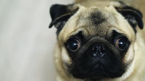 Ritratto del primo piano del cane divertente sveglio del carlino Movimento lento stock footage