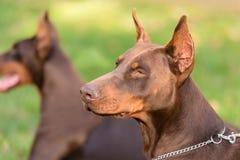 Ritratto del primo piano del cane del pinscher del doberman Fotografia Stock Libera da Diritti
