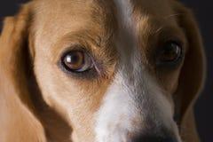 Ritratto del primo piano del cane da lepre Immagine Stock