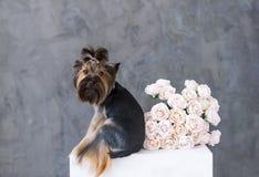 Ritratto del primo piano del cane dell'Yorkshire terrier con le rose di un mazzo nella cornice Fotografie Stock Libere da Diritti