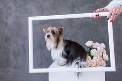Ritratto del primo piano del cane dell'Yorkshire terrier con le rose di un mazzo nella cornice Fotografia Stock