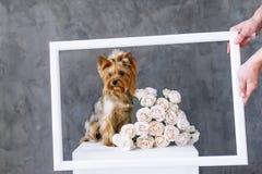 Ritratto del primo piano del cane dell'Yorkshire terrier con le rose di un mazzo nella cornice Immagine Stock