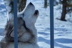 Ritratto del primo piano del cane di slitta Immagini Stock
