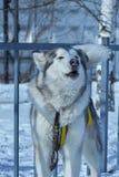 Ritratto del primo piano del cane di slitta Immagine Stock