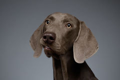 Ritratto del primo piano del cane di Weimaraner che guarda in camera, pendenza bianca fotografia stock libera da diritti