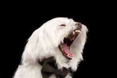 Ritratto del primo piano del cane maltese bianco di sbadigli con il legame isolato Fotografia Stock